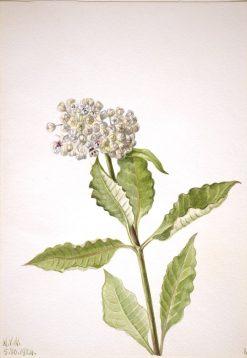 Milkweed (Ascelpias) | Mary Vaux Walcott | Oil Painting