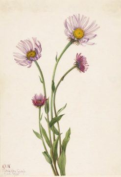 Alaska Fleabane (Erigeron salsuginosus) | Mary Vaux Walcott | Oil Painting
