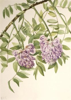 American Wisteria (Kraunhia frutescens) | Mary Vaux Walcott | Oil Painting