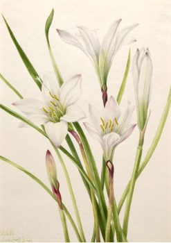Atamasco-Lily (Atamosco atamasco) | Mary Vaux Walcott | Oil Painting