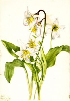 Avalanche Lily (Erythronium montanum) | Mary Vaux Walcott | Oil Painting