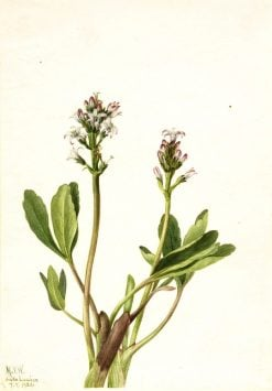 Bogbean (Menyanthes trifoliata) | Mary Vaux Walcott | Oil Painting