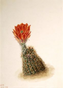 Lloyd's Strawberry Cactus (Echinocereus lloydii) | Mary Vaux Walcott | Oil Painting
