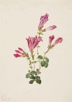 Menzies Pentstemon (Pentstemon menziesii) | Mary Vaux Walcott | Oil Painting