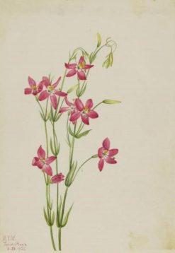 Pink Centaurium (Centaurium venustum) | Mary Vaux Walcott | Oil Painting