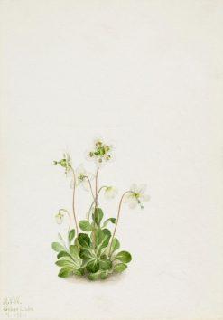 Wood Nymph (Moneses uniflora) | Mary Vaux Walcott | Oil Painting