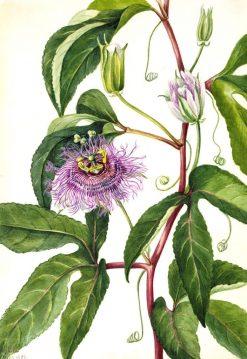 Maypop (Passiflora incarnata) | Mary Vaux Walcott | Oil Painting