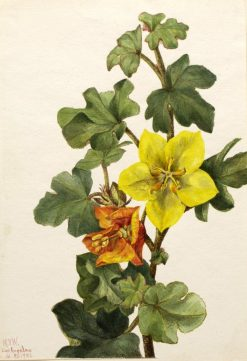 Mexican Fremontia (Fremontodendron mexicanum) | Mary Vaux Walcott | Oil Painting