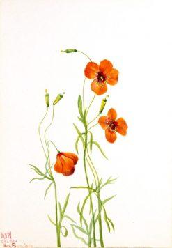 Wind Poppy (Stylomecon heterophylla) | Mary Vaux Walcott | Oil Painting