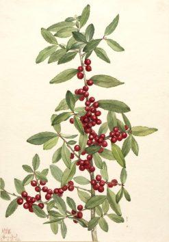 Yaupon (Ilex vomitoria) | Mary Vaux Walcott | Oil Painting