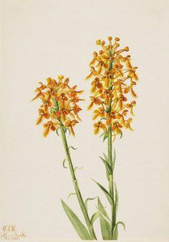 Yellow Fringe Orchid (Habenaria ciliaris) | Mary Vaux Walcott | Oil Painting