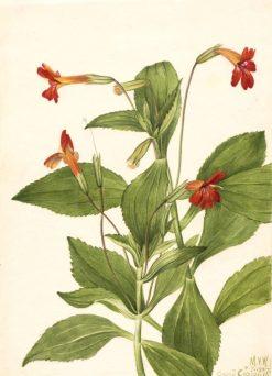 Cardinal Monkey Flower (Mimulus cardinalis)   Mary Vaux Walcott   Oil Painting