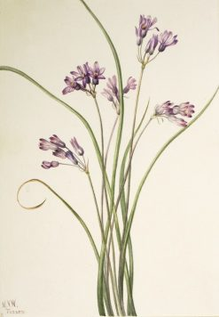 Wild Hyacinth (Brodiaea pulchella) | Mary Vaux Walcott | Oil Painting