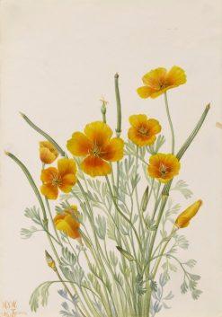 Mexican Poppy (Eschscholtzia mexicana) | Mary Vaux Walcott | Oil Painting