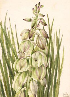 Yucca (Yucca baileyi) | Mary Vaux Walcott | Oil Painting