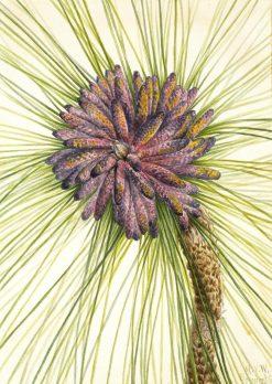 Longleaf Pine (Pinus palustris) | Mary Vaux Walcott | Oil Painting