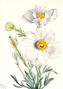 Matilija Poppy (Romneya coulteri) | Mary Vaux Walcott | Oil Painting