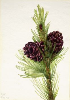 Whitebark Pine (Pinus albicaulis)   Mary Vaux Walcott   Oil Painting