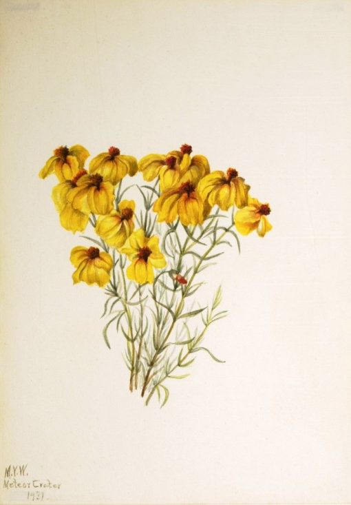 Zinnia (Zinnia grandiflora)   Mary Vaux Walcott   Oil Painting