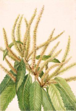 American Chestnut (Castanea dentata) | Mary Vaux Walcott | Oil Painting