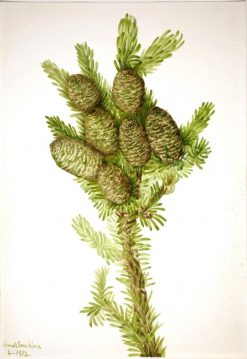 Balsam Fir (Albies fraseri) | Mary Vaux Walcott | Oil Painting
