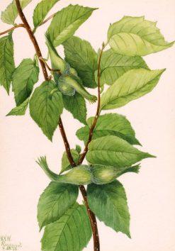 Beaked Hazelnut (Corylus rostrata) | Mary Vaux Walcott | Oil Painting
