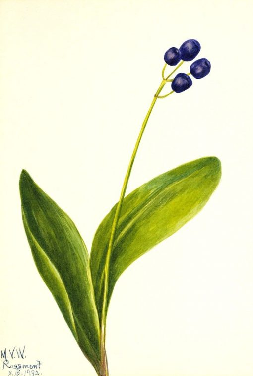 Blue Bead (Clintonia borealis) | Mary Vaux Walcott | Oil Painting