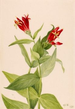 Carolina Pink (Spigelia marylandica) | Mary Vaux Walcott | Oil Painting