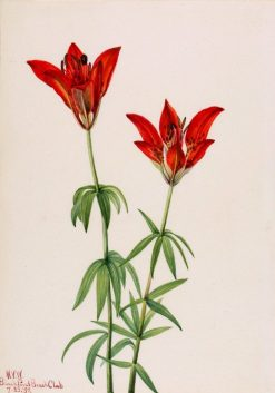 Wood Lily (Lilium philadelphicum) | Mary Vaux Walcott | Oil Painting