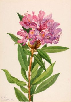 California Rose-Bay (Rhododendron californicum) | Mary Vaux Walcott | Oil Painting