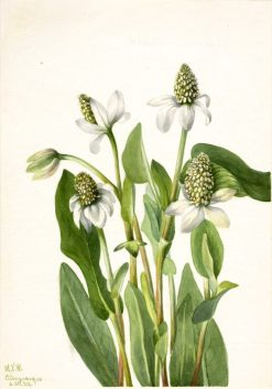 Yerba Mansa (Anemopsis californica) | Mary Vaux Walcott | Oil Painting