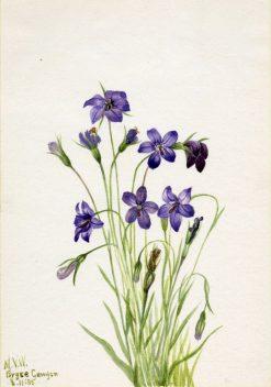 Bellflower (Campanula) | Mary Vaux Walcott | Oil Painting