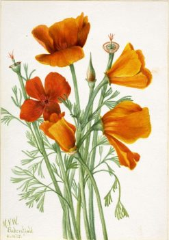 California Poppy (Eschscholtzia californica) | Mary Vaux Walcott | Oil Painting