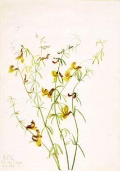 Lotus puberulus | Mary Vaux Walcott | Oil Painting
