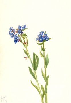 Alpine Forget-Me-Not (Myosotis alpestris) | Mary Vaux Walcott | Oil Painting