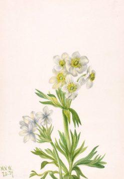 Anemone (Anemone zephyra) | Mary Vaux Walcott | Oil Painting