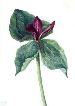 Whippoorwill Flower (Trillium H.)   Mary Vaux Walcott   Oil Painting