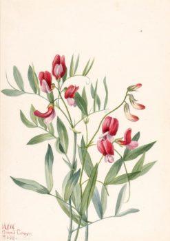 Wild Pea (Lathyrus decaphyllus) | Mary Vaux Walcott | Oil Painting