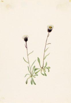 Aleutian Fleabane (Erigeron unalaschensis) | Mary Vaux Walcott | Oil Painting