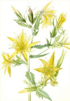 Blazing Star (Mentzelia laevicaulis)   Mary Vaux Walcott   Oil Painting