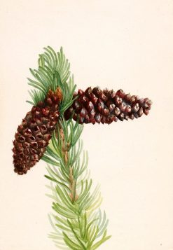 Bristle-Cone Pine (Pinus aristata) | Mary Vaux Walcott | Oil Painting