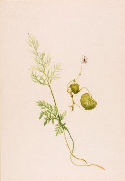 Viola palustris   Mary Vaux Walcott   Oil Painting
