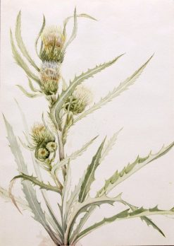 White Thistle (Cirsium hookeranum) | Mary Vaux Walcott | Oil Painting