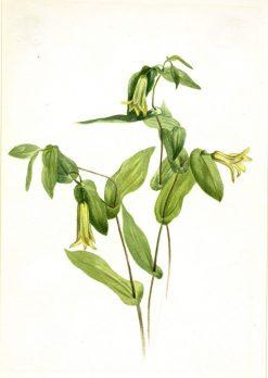 Wood Merrybells (Uvularia perfoliata) | Mary Vaux Walcott | Oil Painting