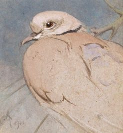 Collar Dove | Edwin John Alexander | Oil Painting
