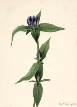 Bottle Gentian (Gentiana saponaria) | Mary Vaux Walcott | Oil Painting