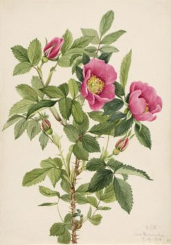 Bourgeau Rose (Rosa bourgeauiana) | Mary Vaux Walcott | Oil Painting