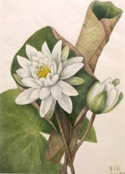 American Waterlily (Castalia odorata) | Mary Vaux Walcott | Oil Painting