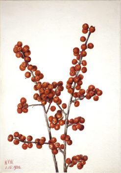 Winterberry (Ilex verticillata) | Mary Vaux Walcott | Oil Painting
