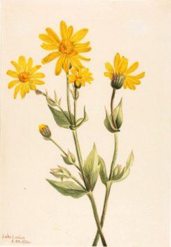 Arnica (Arnica latifolia) | Mary Vaux Walcott | Oil Painting